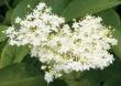 Kwiat bzu czarnego 50g