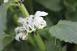 Kwiat jasnoty białej 25g