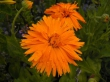 Kwiat nagietka 50g