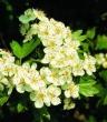 Kwiatostan głogu 50g