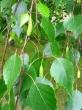 Liść brzozy 50g